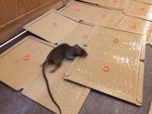 宇和島市 飲食店様 クマネズミ駆除・集中捕獲作業施工事例